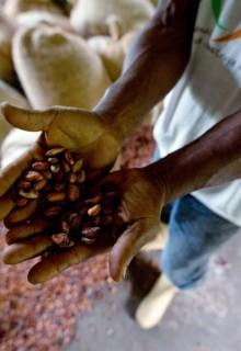 La milagrosa semilla de Cacao