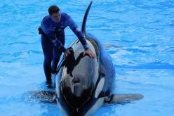 Sea World finaliza programa de reproducción de orcas en cautiverio