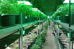 La Marihuana: Un negocio millonario