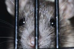 Washington DC está plagada de ratas…¡Qué miedo!