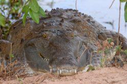 Cocodrilos y caimanes: ¿Qué aprender de ellos?