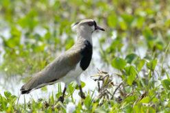 El Alcaraván o Vanellus chilensis, es un ave monógama