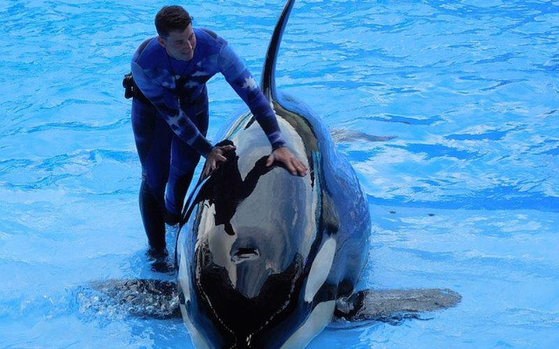SeaWorld elimina gradualmente su espectáculo con orcas