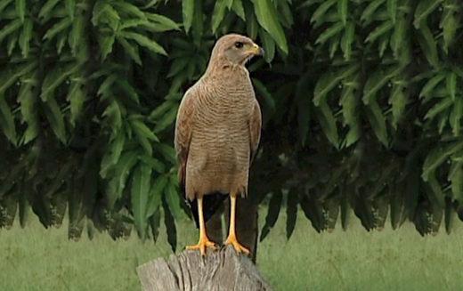 Gavilán pitavenado, el ave que alerta a los venados de los cazadores