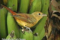 Frugívoras, las aves que comen frutas