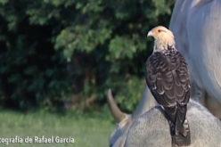 Chiriguare, el ave que come garrapatas