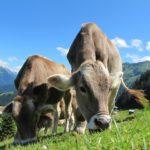 carne de vaca de pasto