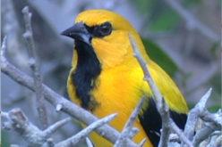El Gonzalito, el ave con habilidad para cantar