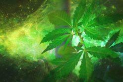 El uso medicinal y recreacional de la marihuana: las víctimas colaterales